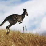Australian Kangaroo, roaming free in the outback bush